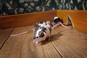 topi e legno